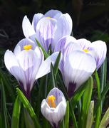 Первенцы весны