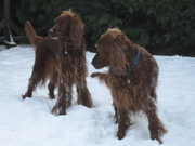 Irish setters in East Anglia and Essex