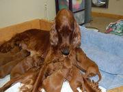 Grace Litter Dogs