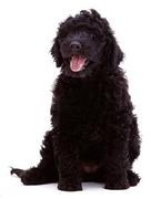BLACK DOGS IN RESCUE