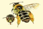 Bijen in Frankrijk