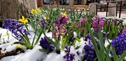 Fowers Blooming in the Snow - Pearl Street Mall