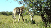 Giraffee feeding 2