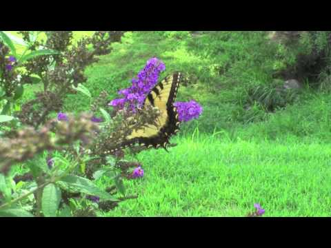 Yellow Butterfly & Music