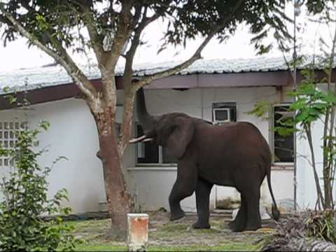 The Visit of a recluse Elephant.