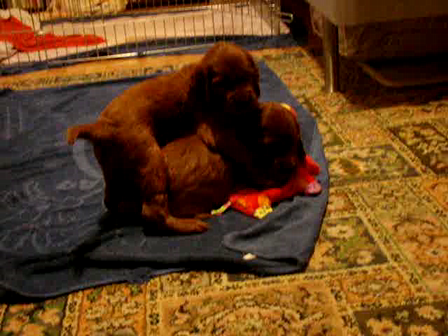 River, Nelli and Lady as a 3,5 weeks old babies:)