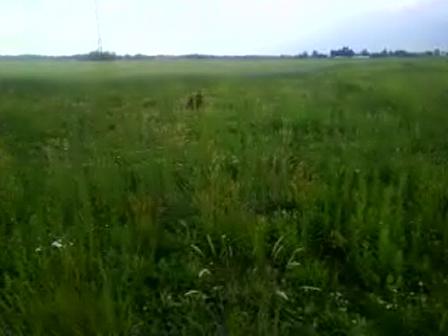 Luna on trail of Pheasant