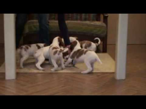 IRWS-puppies-6 weeks from  Russia