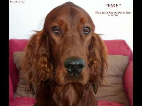 Our Irish Red Setter at home