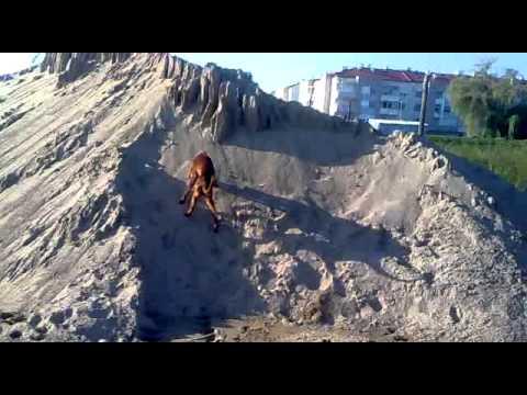 Irish Setter and German Shepherd chasing a stone