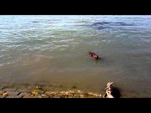 Irish Setter Leo on the Danube