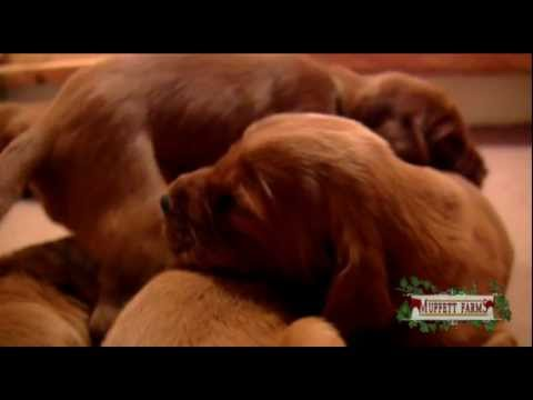 Amazing Birth 2 ~ Irish Setter Puppies