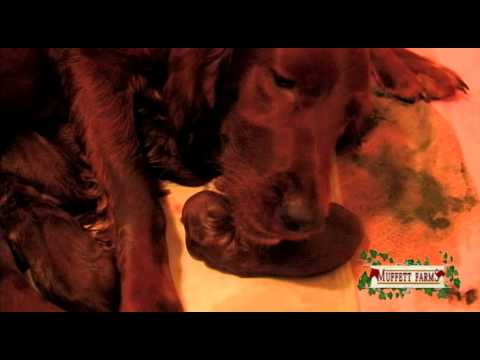 Amazing Birth ~ Irish Setter Puppies