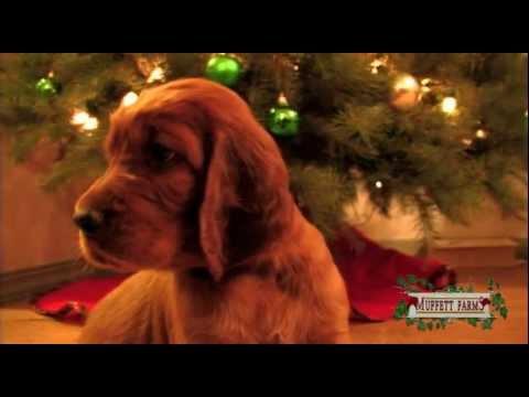 Amazing Birth ~ Irish Setter Puppies ~ Update Video