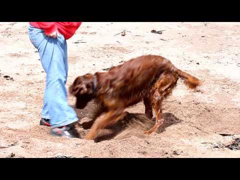 Simba on Dawlish beach