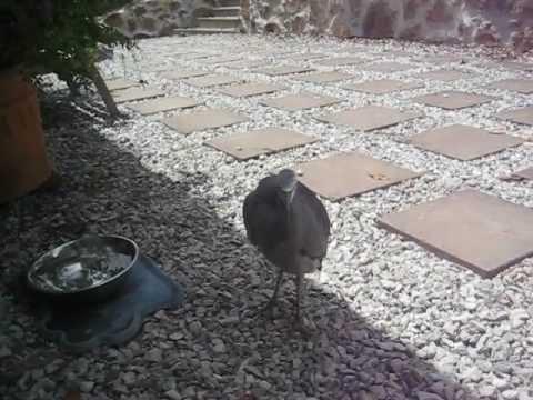 My White Faced Heron Friend, Sam