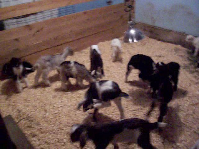 "Baby goats ""Crazy"""