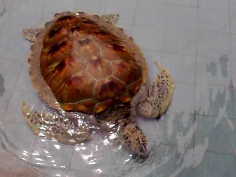 Beautiful Sea Turtles at Segari Turtle Breeding Station Malaysia