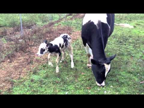 Leili: Our New Calf
