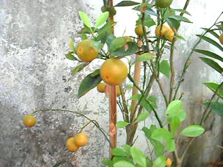 ต้นส้มจี๊ด...ของอาม่า