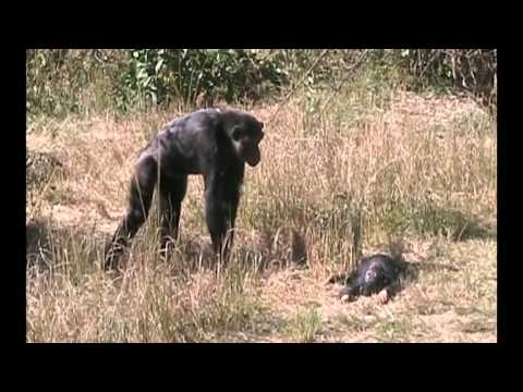 Chimpanzee Mother's Reaction On Seeing Her Dead Infant