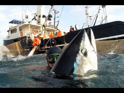 Across the vast Pacific, the mighty bluefin tuna carried radioactive contamination