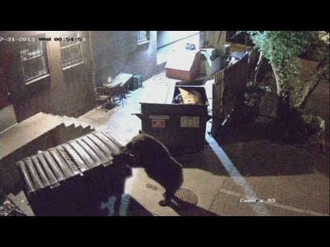 Amazing CCTV! Bear in Colorado caught stealing restaurant's bins