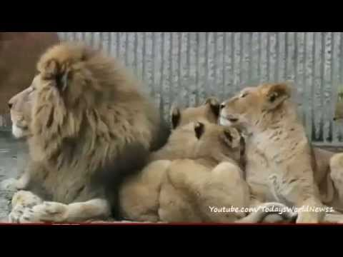 Outrage As Danish Zoo Kills Healthy Family Of Lions