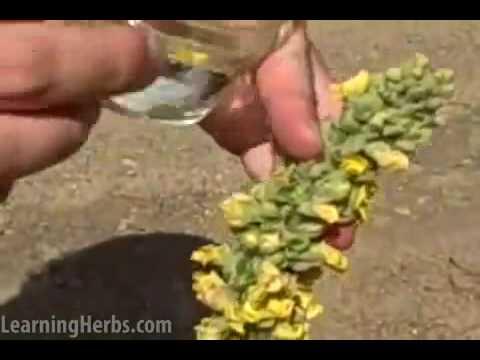 Mullein herb: Verbascum thapsus