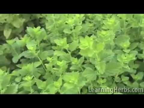 Lemon Balm Herb: Melissa officinalis