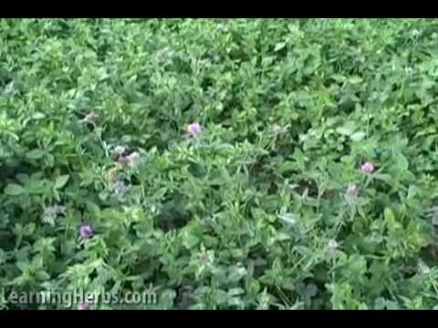 Red Clover Herb: Harvesting Herbs, Drying Herbs