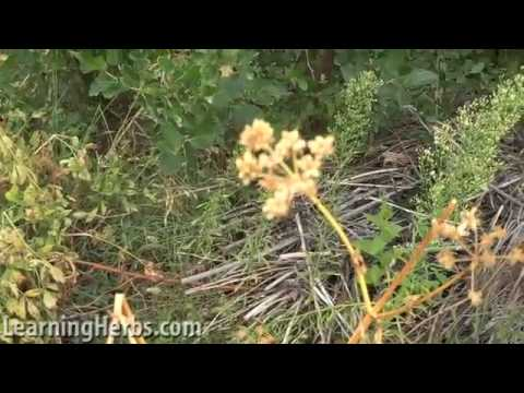 How to Collect Seeds of Herbs