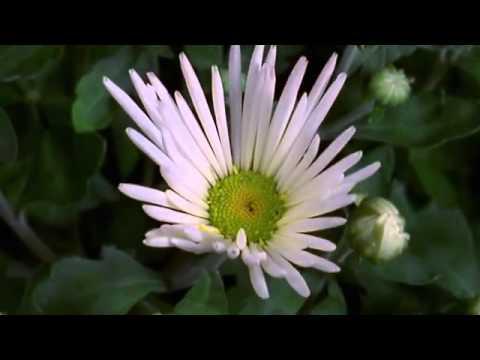 A beleza das flores abrindo
