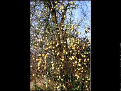 """""""Lieber alter Apfelbaum"""" by Monika Craciun"""