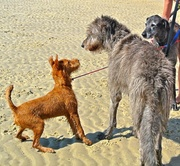 Irish Terrier meets Irish Wolfhound on the beach