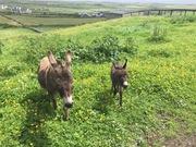 Moher Hill donkeys