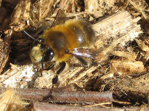 Hairy footed flower bee0001