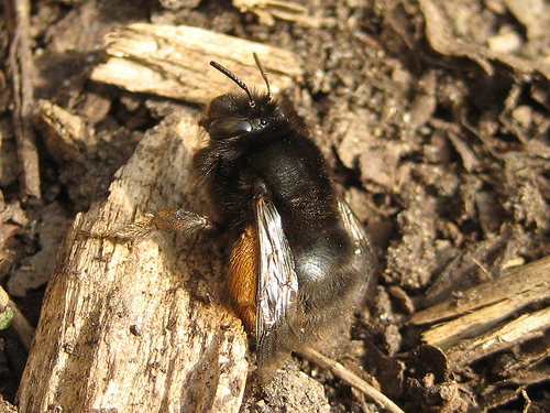 Hairy footed flower bee F0001