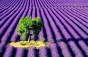 lavanda-farm-árvore.