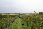 Druiven plukken in ZW-Frankrijk