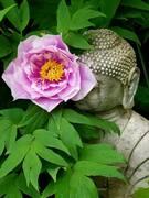 Bashful Buddha (and tree peony)