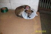 para adoção urgente está na zoonoses tratar c. sueli (13) 3019-3551