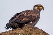 Eagle Nestlings
