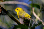 Birds of a Feather: Warblers are Back!