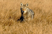 The Inside Story: Dissect a Coyote