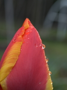 Rainy Day Tulip 2