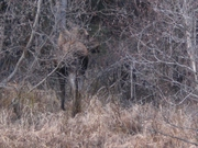 first moose of the season i saw