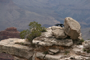 raven on the rocks @ Mather Point
