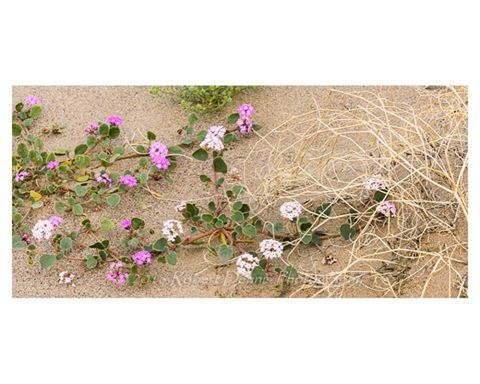 More Death Valley Flowers
