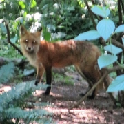 Red fox at Northwest Trek